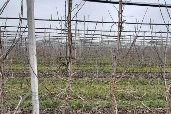 Pruning apple trees 2020